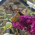 Butterfly1web